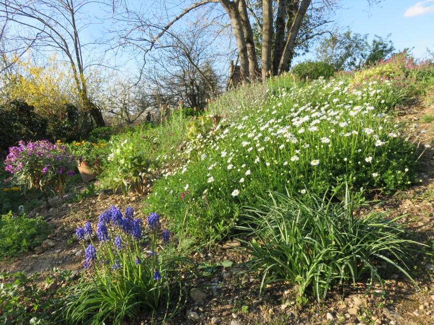 Matrcaria tchihatchewii printemps
