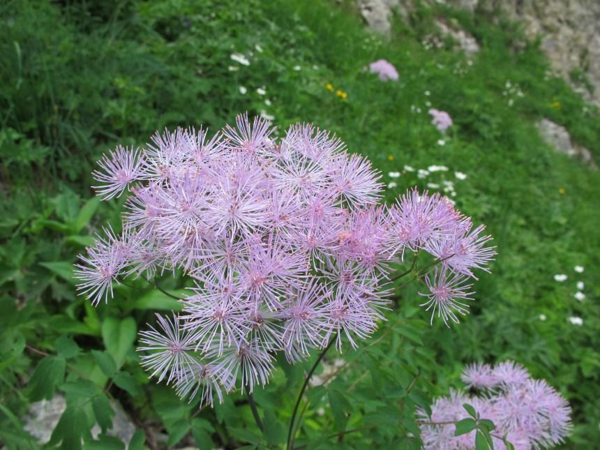 thalictrum aquilegiifolium (9)