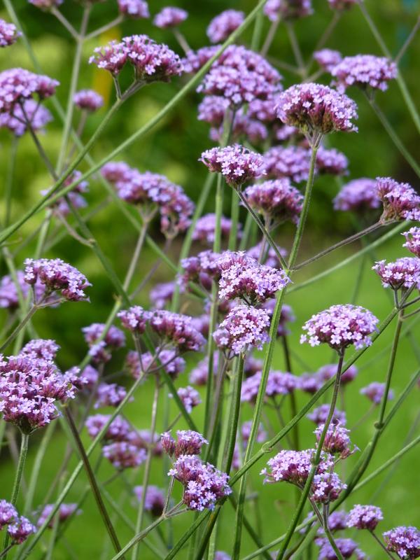 Verbena bonariensis fleur (2)