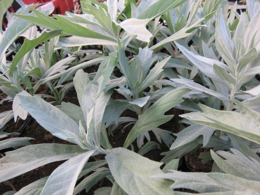 Artemisia ludoviciana (1)