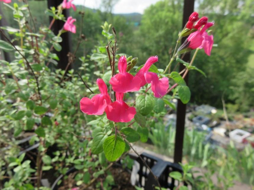 Salvia arbustive (3)
