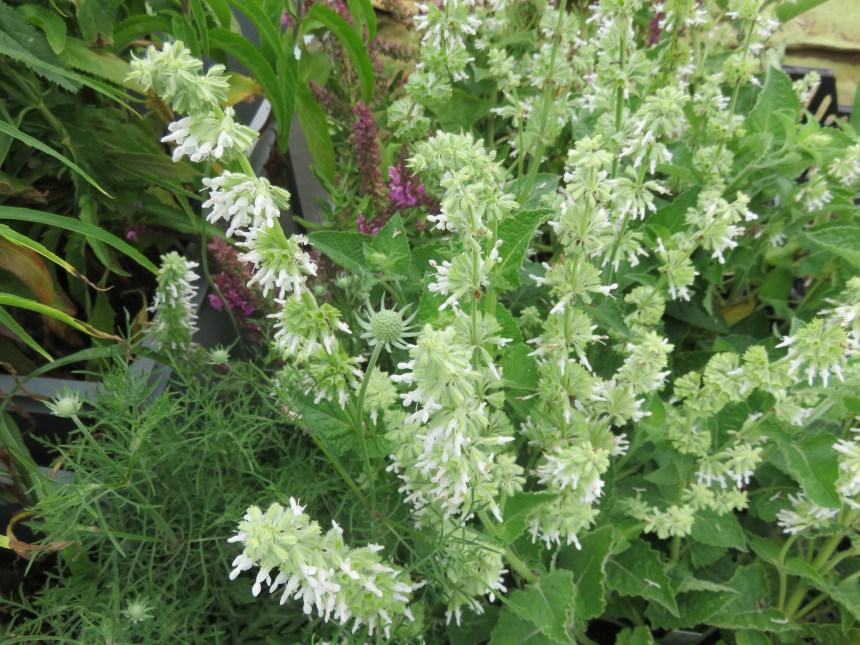 Salvia verticillata 'Alba' (1)