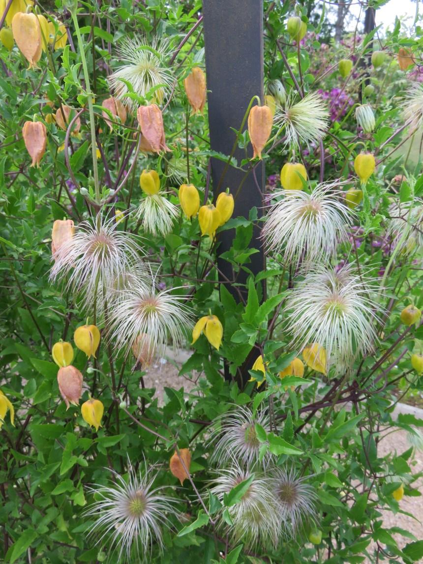 Clematis tangutica (3)