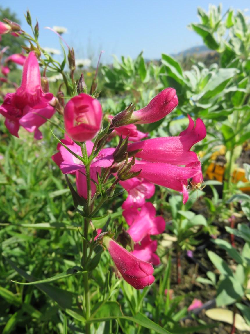 Penstemon 'Rose' (2)