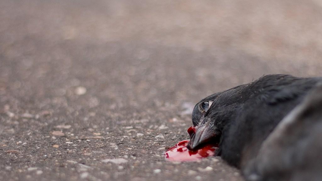Pigeon ... Mort !