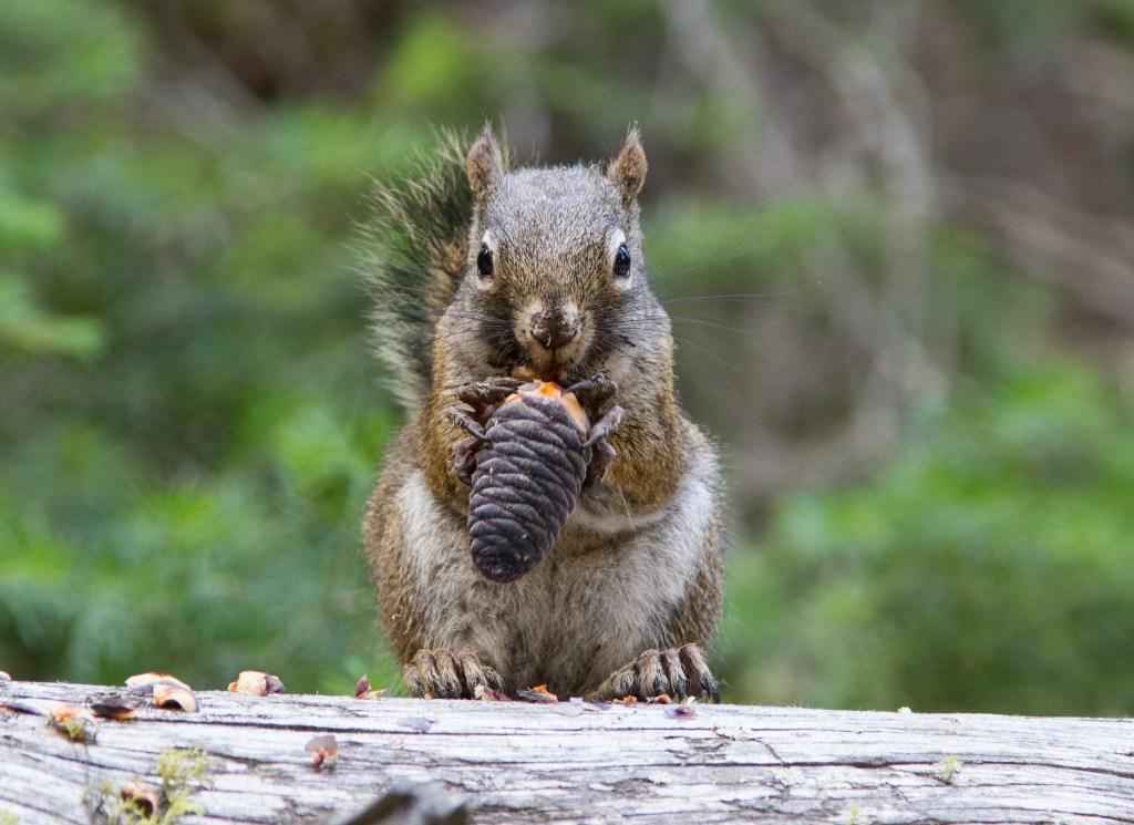 Yellowstone National Park - écureuil