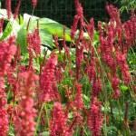 Persicaria amplexicaulis 'Speciosa'