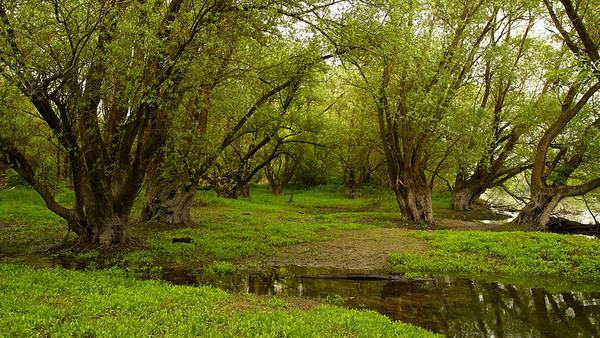 Frisches Grün in der Auenlandschaft mit Silberweiden, Au am Rhein