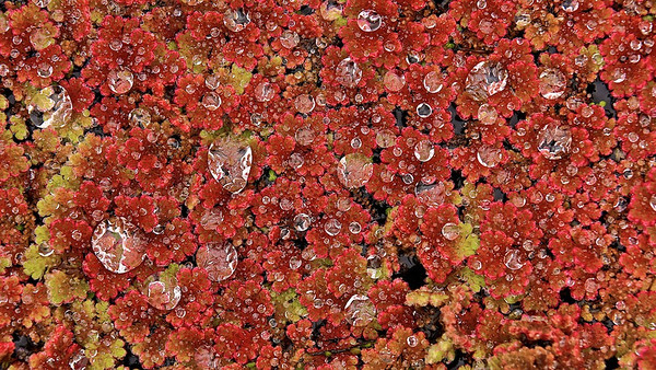 Großer Algenfarn (Azolla filiculoides), Rheinauen - Deutschland