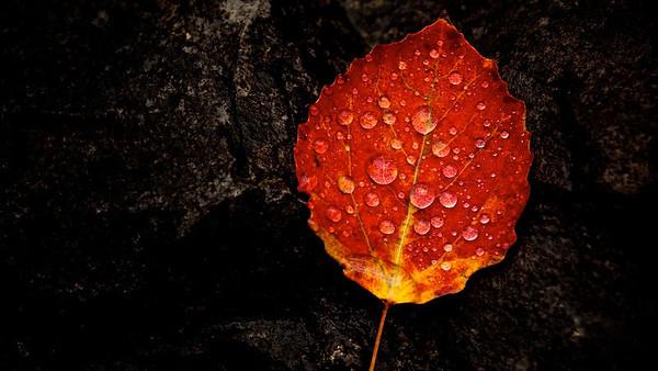 Regentropfen auf Pappelblatt