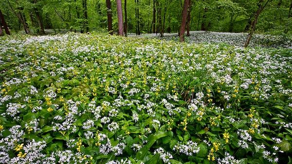 Bärlauch und Goldnesseln im Rheinwald