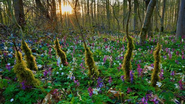Zauberwald mit Moos und Lerchensporn (Corydalis) - Rheinauen