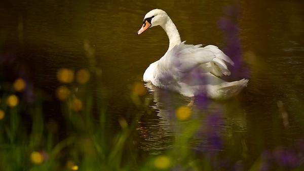 Höckerschwan im braunen Hochwasser