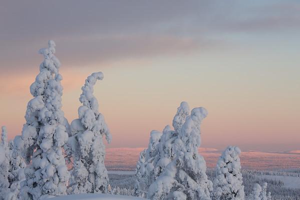 Kerzenfichten bei Vittjåkk - Arvidsjaur, Lappland, Schweden