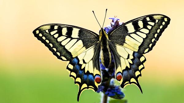 Schwalbenschwanz (Papilio machaon) im Naturschutzgebiet Biesel, Rheinstetten.