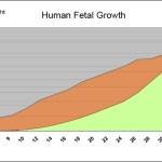 אורך ומשקל העובר לאורך ההריון