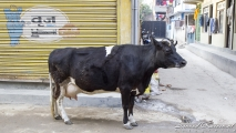 Koe op straat (zijn heilig, net als in India)