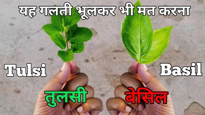 Basil In Hindi - What We Call Basil Leaves In Hindi
