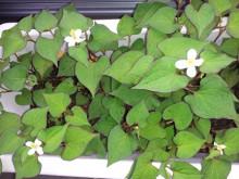 ナチュラルセラピースクールEarth-ドクダミ花
