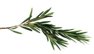 huile essentielle d'arbre à thé