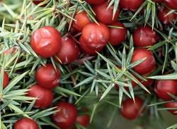 Huile essentielle cade aroma-nature.fr