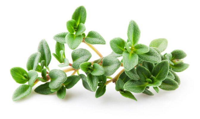 tinh dầu cỏ xạ hương phòng virus corona