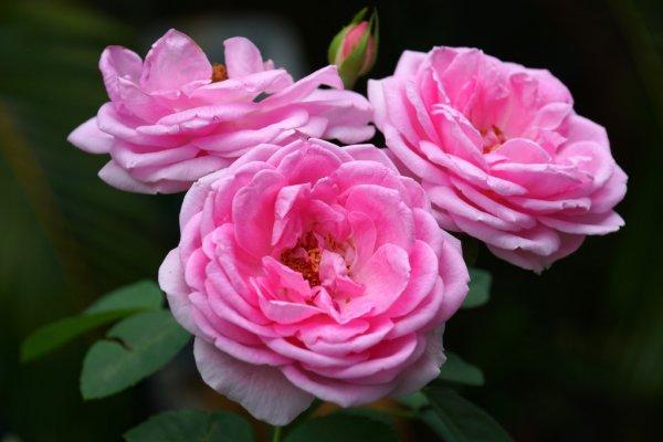 Hydrolat z Róży Damasceńskiej - właściwości i zastosowanie 1