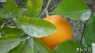 オレンジスィートの精油(Nardアロマ・アドバイザーで学ぶ精油)