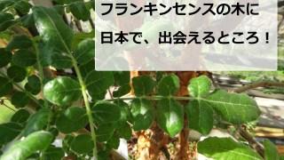 日本で、フランキンセンスの木に会えました!