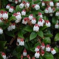 Aceite esencial de gaulteria olorosa -gaultheria fragantissima