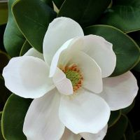 Aceite esencial de magnolia - magnolia grandiflora