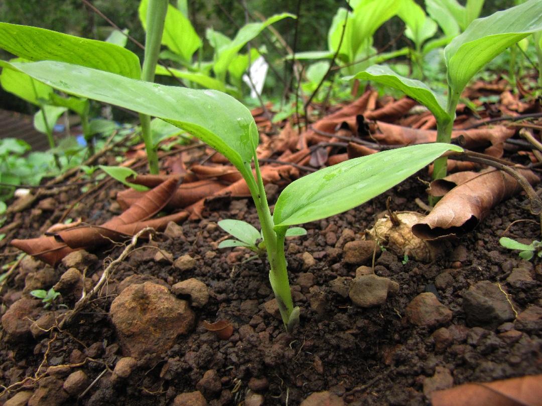 Comment faire pousser du curcuma