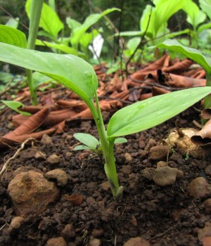 Plants de curcuma longa