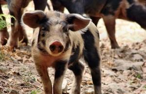 Réanimer le cerveau de porcs