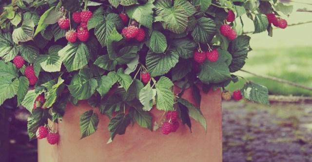 petits-fruits-les-framboises en pot