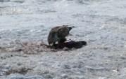 Hawk having a meal