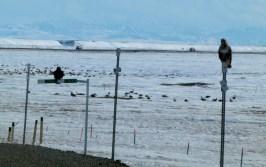 Hawk and raven overlook geese flocks