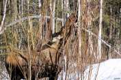A moose choosing and eating a willow