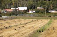 Sandhill cranes & Canada geese at UAF experimental fields