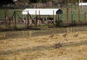 Reindeer and Sandhill Cranes at the UAF experimental fields