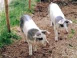Agriturismo casa di Campagna- maialini