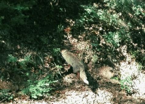 Volpe nella Foresta Umbra