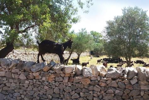 Murge-capre-muretti a secco