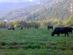 vecchie_fattorie_lombardia_agriturismo_biobio_mucche