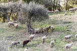vecchie_fattorie_agriturismo_tenuta_san_felice_umbria_pecore