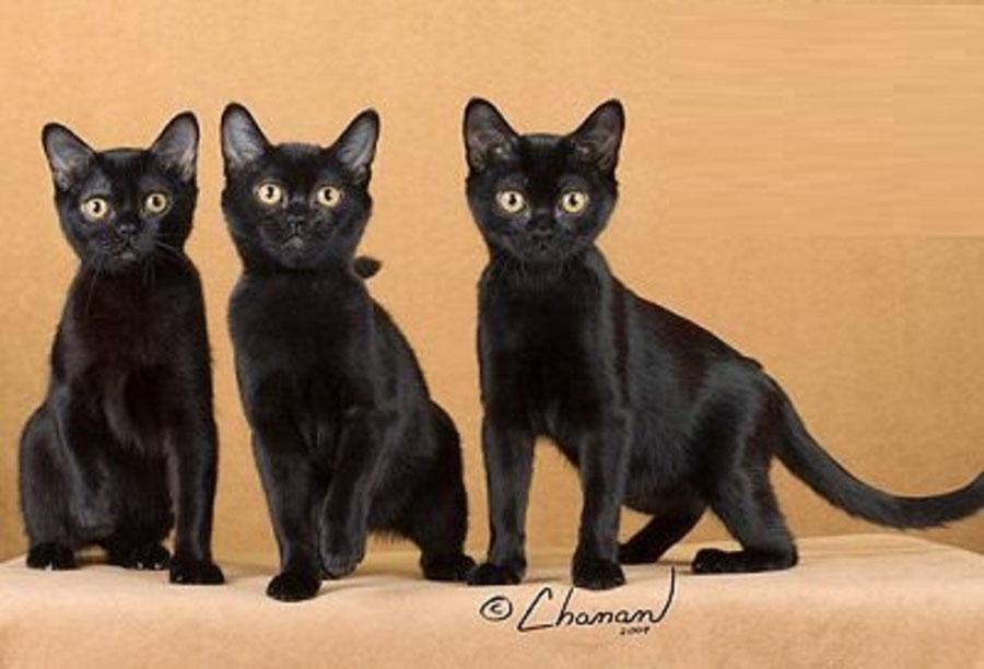 Crne afričke djevojke maca