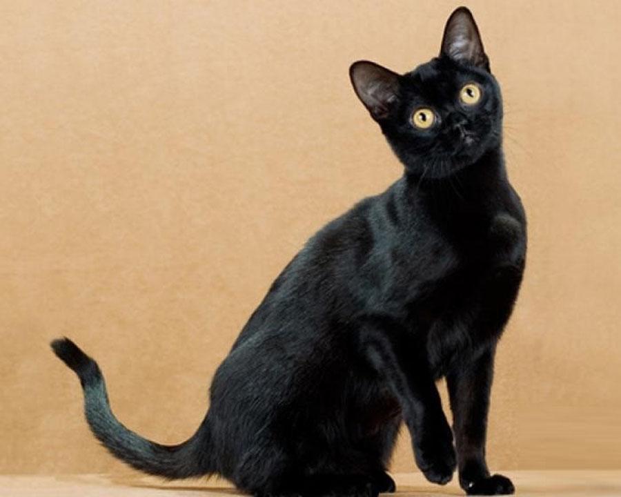 tamni panthera crni seks