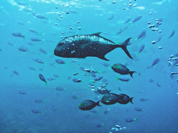 Image depicts Grand Tilapia and other reef fish at The Great Barrier Reef.