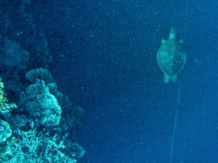 Image shows a sea turtle swimming along The Great Barrier Reef.