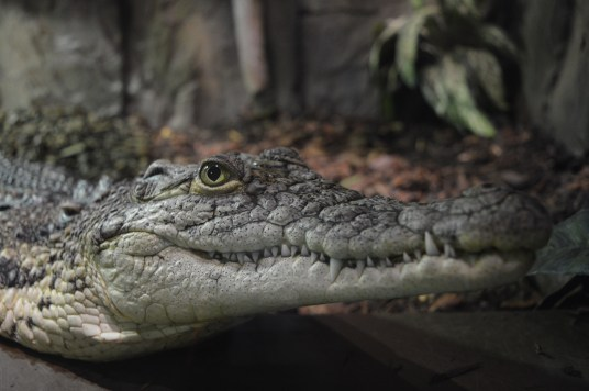 Nile crocodile at Exploris Aquarium in Portaferry